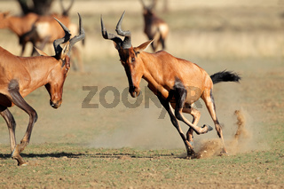 Frolicking red hartebeest
