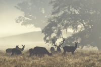 Red Deer stag, hinds and calfs in morning fog