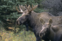 Portrait of young bull Moose and calf in the taiga