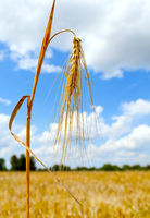 Mature wheat ear against the sky