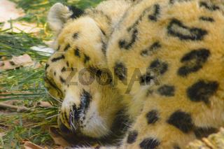 Schlafender Gepard