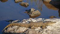 crocodile in Kruger National Park, South Africa