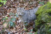 Wildkater, Wildkatze, Männchen (Felis silvestris)  captive, Baye