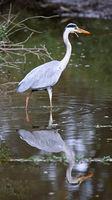 grey heron, South Africa