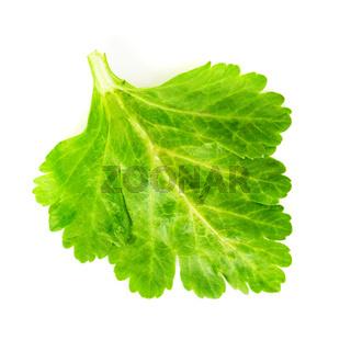 green celery leaf
