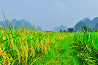 Li river mountain rice landscape in Yangshuo Guilin