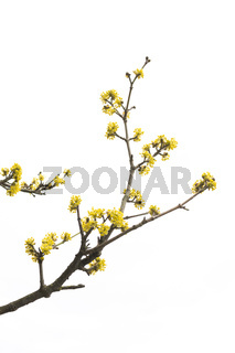 Spring tree with yellow flowers detail