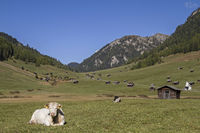 cow on Tschey meadows