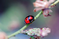 A ladybird walking on stem of compositae plant