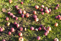 Apples lying on the grass in Autumn