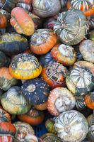 Turk's Turban Pumpkin, (Cucurbita maxima)