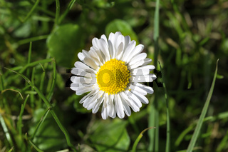 Single daisy
