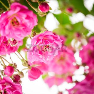 Pink rose bush