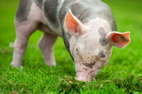 pig on a green grass