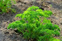 Petersilie im Garten - parsley in garden 01