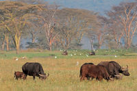 African buffaloes with egrets