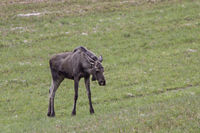 Moose in Norway
