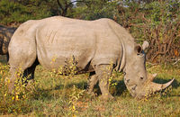 white rhinoceros in Marakele NP, south africa