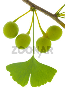 isolated leaf of ginkgo tree