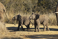 young African Elephants crossing a rough road