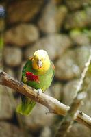 Yellow-naped Amazon Parrot