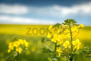 Rapspflanze Nahaufnahme - selektiver Fokus