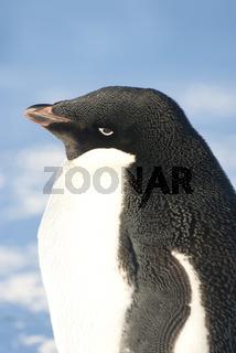Portrait of an adult Adelie penguin against a blue sky.