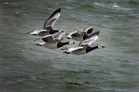 Wild goose flyin over water