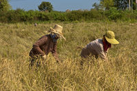 workers harvesting rice, Battambang, Cambodia