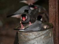 Java sparrows in metal bucket