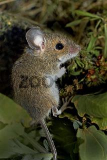 Junge Waldmaus    Apodemus sylvaticus