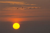 Common Cranes flight in front of the morning sun t