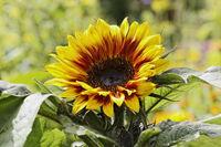 Helianthus annuus Merida Bicolor, Sunflower