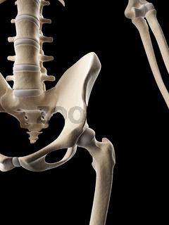 medical illustration of the skeletal hip