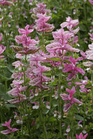 Salvia viridis Pink Sunday, Sage