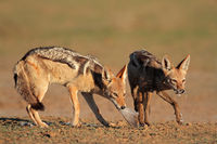 Black-backed Jackals eating dove