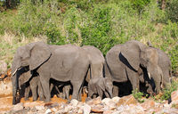african elephants in a river bed, south africa