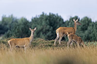 Red Deer hinds and calf standing on a hill heath