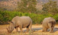 white rhinoceroses in the sun, Kruger NP