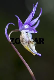 die Orchidee Norne, Calypso bullosa (englisch: Calypso orchid, Venus´s slipper, fairy slipper), Lappland