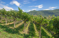 traditional Wine Growing in South Tyrol