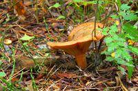 Edelreizker - Red pine mushroom 01