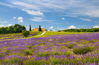 Lavender field in Provence, France.