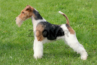 Show position Fox Terrier Wire dog on a green grass
