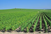 Vineyard Landscape in Champagne region,France