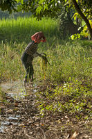 Farmer harvesting rice, Cambodia