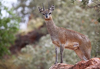 klipspringer, Mapungubwe in south africa, wildlife