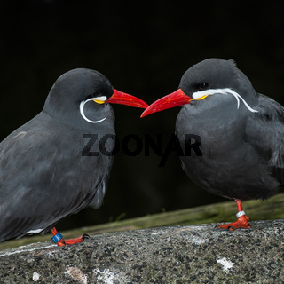 Inkaseeschwalben