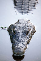 crocodile in Kruger National Park, South Africa