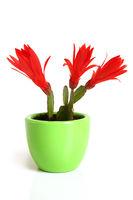 Christmas cactus. Schlumbergera.